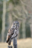 Great Grey Owl Perched. A calm great grey owl sits and waits for a mouse to show up Stock Image