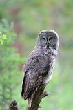 Great Grey owl perched on branch Stock Photo