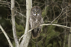 Great Grey Owl perched in a forest Stock Images