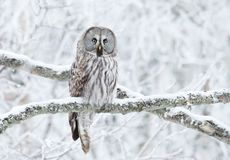 Great Grey Owl perched in a tree in winter royalty free stock photography