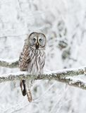 Great Grey Owl perched in a tree in winter stock photo