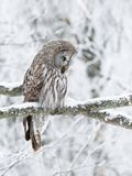 Great Grey Owl perched in a tree in winter stock photography