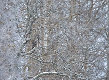 Great Grey Owl perched in a tree in winter. Great Grey Owl Strix nebulosa successfully camouflaged while perched in a tree in winter, Finland stock image