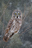 Great grey owl (Strix nebulosa) perched in a tree hunting over a snow covered field in Canada stock image