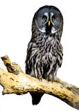 Great Grey Owl. Perching on branch Stock Photos