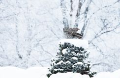 Great Grey Owl perching on a tree in winter stock images