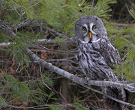 Great Grey Owl in Pine Tree. A Great Grey Owl (Strix nebulosa) perched in a pine tree stock image