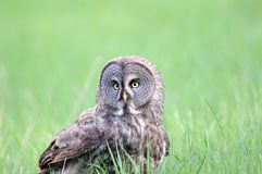 Great Grey Owl Portrait Royalty Free Stock Images