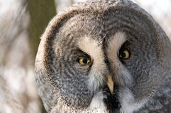 Great Grey Owl. Portrait. Royalty Free Stock Photo