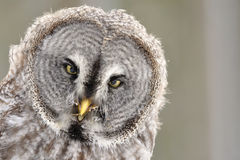 Great Grey Owl  portrait. On brown background Stock Photography