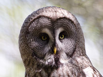 Great Grey Owl. A great grey owl in portrait Royalty Free Stock Photo