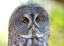 Great Grey Owl portrait close up. Close up portrait of a Great Grey Owl. It is a very large owl, documented as the worlds largest species of owl by length royalty free stock photo