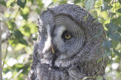 Great grey owl portrait, close up. Nesting Stock Photo