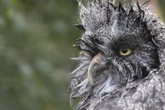 Great grey owl portrait, close up. Nesting Royalty Free Stock Photo