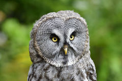 Great grey owl Royalty Free Stock Photo