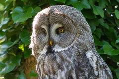 Great Grey Owl. Portrait of the Great Grey Owl (Strix nebulosa), also called Phantom of the North, Cinereous Owl, Spectral Owl, Lapland Owl, Spruce Owl, Bearded stock photos