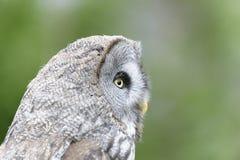Great Grey Owl portrait Stock Photo