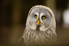 Great grey owl portrait Royalty Free Stock Image