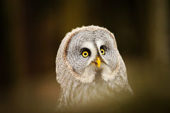 Great grey owl portrait Royalty Free Stock Photos