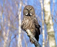 Great Grey Owl posing on a birch tree royalty free stock image