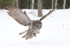 Great grey owl (Strix nebulosa) hunting over a snow covered field in Canada stock image