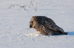 Great grey owl (Strix nebulosa) isolated against a white background catches it prey on a snow covered field in Canada stock photos