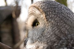 Great Grey Owl. Profile. Royalty Free Stock Photo