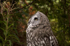 The Great Grey Owl Royalty Free Stock Image