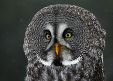 Great Grey Owl Profile. A close-up of a Great Grey Owl (Strix nebulosa) with snow falling in the background Royalty Free Stock Photography