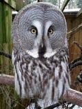 Great Grey Owl Selfie. Full Face Portrait Stock Photo