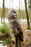 Great grey owl from side Royalty Free Stock Images