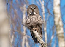 Great Grey Owl sits on a birch branch in the blue sky swamp with puffy plumage royalty free stock photography