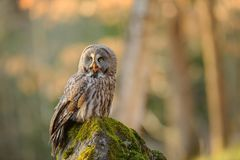 Great grey owl sitting on mossy stone Stock Image