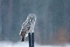 Great grey owl sitting on the post in the falling snow Stock Photos