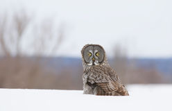 Great grey owl sitting in the snow covered field Strix nebulosa Royalty Free Stock Photo