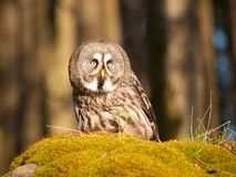 Great grey owl sitting on the stone - Strix nebulosa. Great grey owl in forest on the rock with moss - Strix nebulosa royalty free stock images