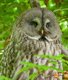 Great grey owl sitting in a tree Stock Photo