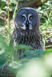 Great Grey Owl Skansen Park Stockholm Sweden. A great grey owl (Strix nebulosa) with its amazing face that looks like a tree branch in Skansen Park Stockholm stock photography