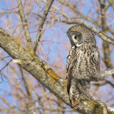 Great Grey owl. Square image of a Great Grey Owl (Strix nebulosi), camouflaged and perched in a tree. Provincial bird of Manitoba, Canada stock photo