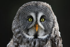 Great Grey Owl Stare. The face of a Great Grey Owl (Strix nebulosa stock photo