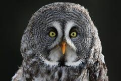 Great Grey Owl Stare Stock Photo
