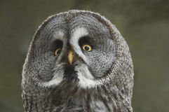 Great Grey Owl - Strix nebulosa Royalty Free Stock Images