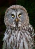 Great Grey Owl (Strix nebulosa) Stock Photography