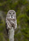 Great Grey Owl (Strix nebulosa) Stock Photography