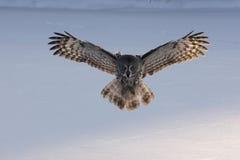 Free Great-grey Owl, Strix Nebulosa Stock Image - 32989981