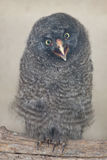 Great grey owl Strix nebulosa.  stock photography
