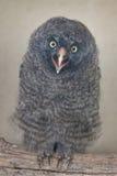 Great grey owl Strix nebulosa.  royalty free stock images