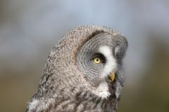 Great grey owl Strix nebulosa. Beautiful gray owl bird of prey. Face in close up. Large facial disc in profile against blurred background royalty free stock photos