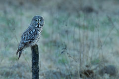 Great grey owl, Strix nebulosa, bird hunting on the maadow. Owl sitting on old tree trunk with grass, portrait with yellow eyes. A Royalty Free Stock Photo