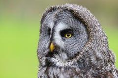 Great Grey Owl Strix nebulosa Bird of Prey stock photos